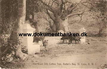 The Giant Silk Cotton Tree, Butler's Bay. St. Croix D.W.I. 1919